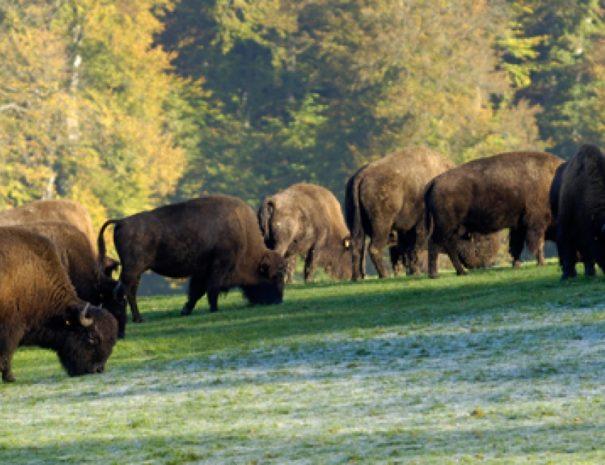 Les ferme aux bisons