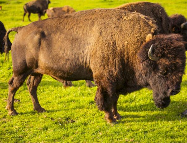 Bison du Parc Canadien
