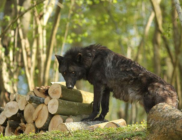 Loup du Parc Canadien